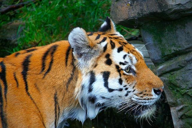 Tiger orange white, animals.