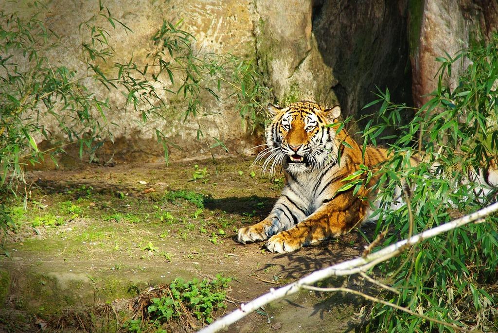 Tiger panthera tigris big cat.