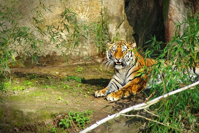 Tiger panthera tigris big cat.