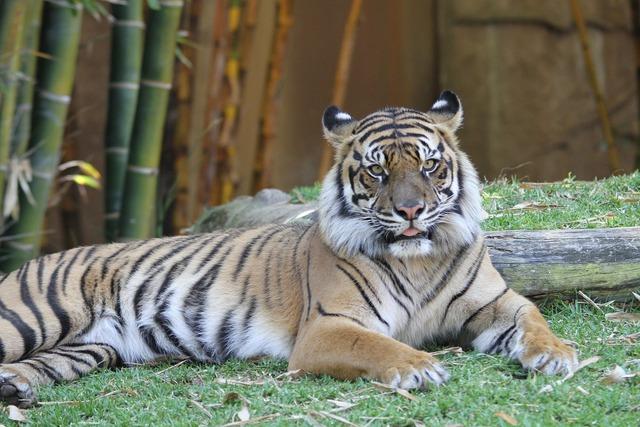Tiger panthera tigris cat, animals.