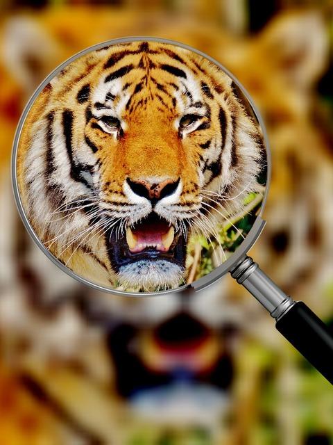 Tiger predator fur, animals.