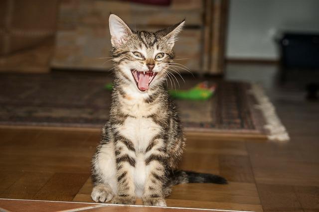 Tiger room cat yawn, animals.