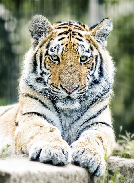 Tiger siberian tiger cat, animals.