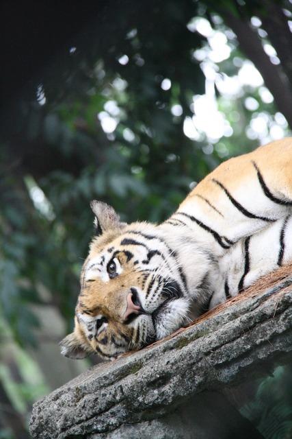 Tiger sleepy big, animals.