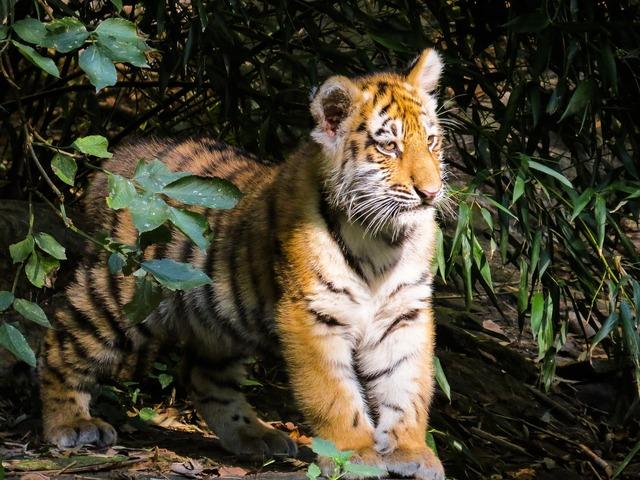 Tiger tiger cub cute, animals.