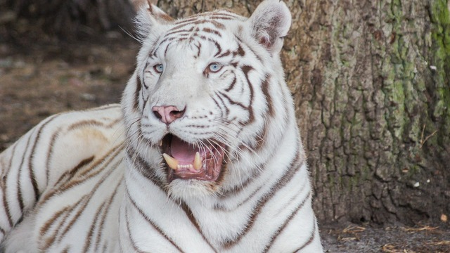 Tiger white cat, animals.