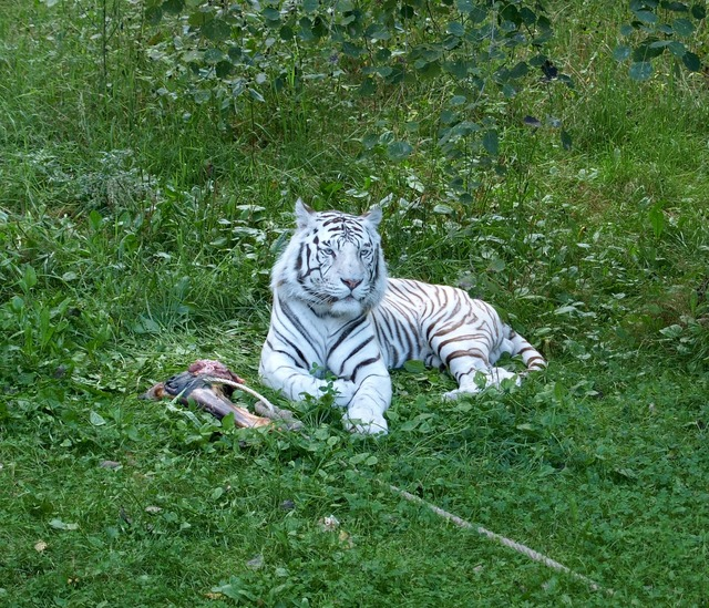 Tiger white tiger white, animals.