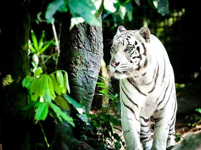 Tiger white tiger wildcat, animals.