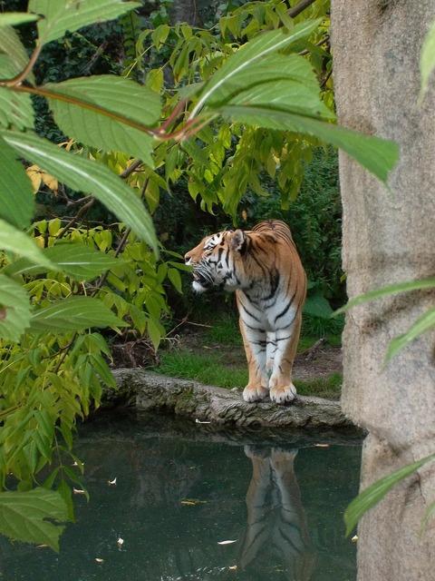 Tiger wild zoo, animals.