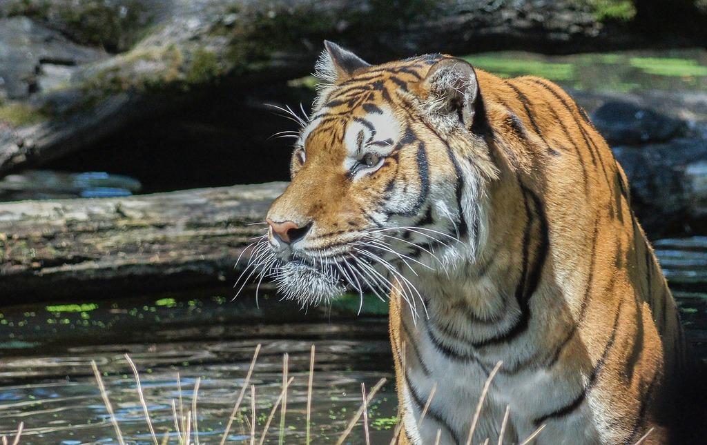 Tiger wilderness serengeti park.