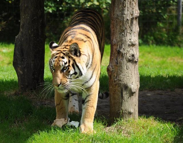 Tiger zoo cat, animals.