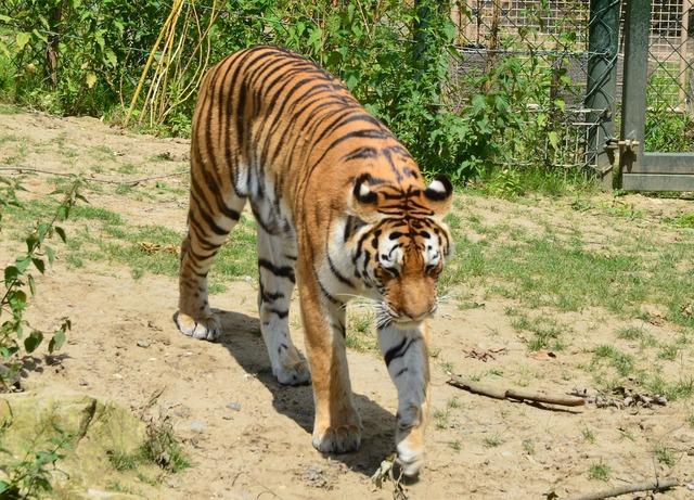 Tiger zoo wilderness, animals.