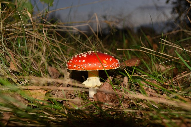 Toadstool mushroom fly agaric, nature landscapes.