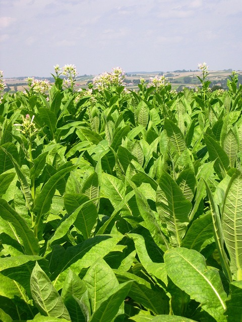 Tobacco arable farming crop.