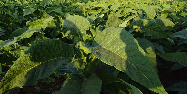 Tobacco nicotiana tabacum leaves, nature landscapes.