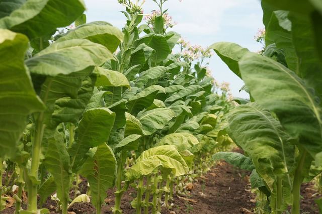 Tobacco plant smoking, nature landscapes.