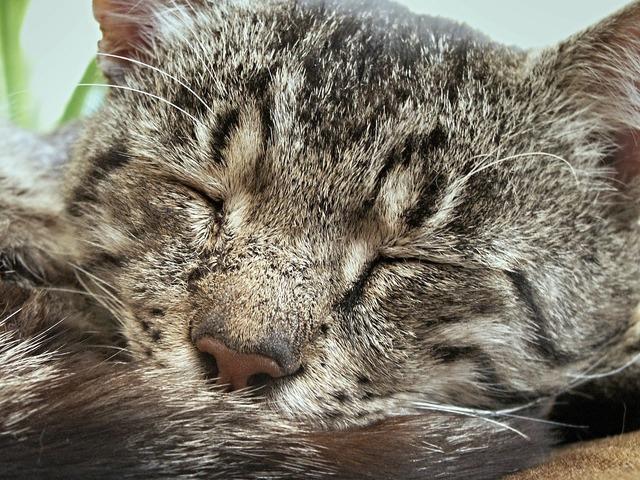 Tomcat soot cat, animals.