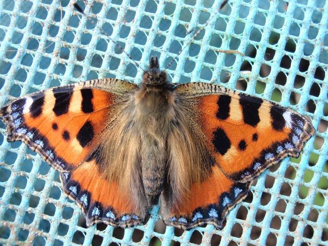 Tortoiseshell butterfly macro, backgrounds textures.