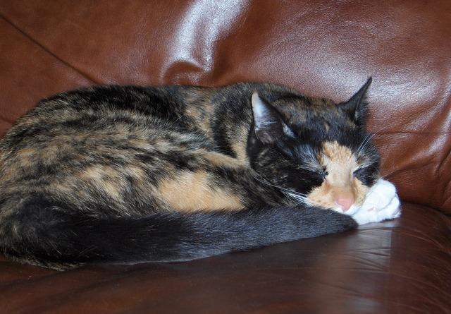Tortoiseshell cat sleeping chair, animals.