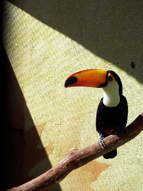 Toucan perched zoo.