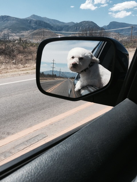 Toy poodle freedom mountains, animals.