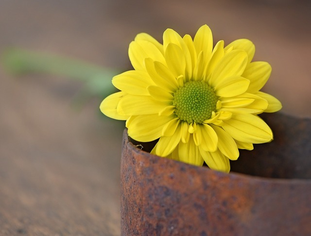 Tree daisy yellow yellow flower, nature landscapes.