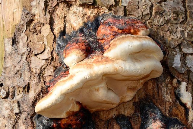 Tree fungus tinder fungus mushroom.