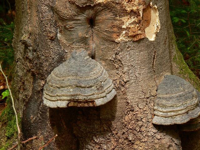 Tree mushroom mushrooms on tree, nature landscapes.