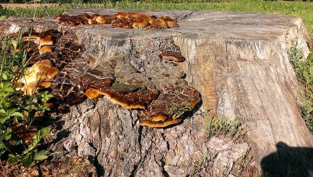 Tree stump mushrooms nature, nature landscapes.