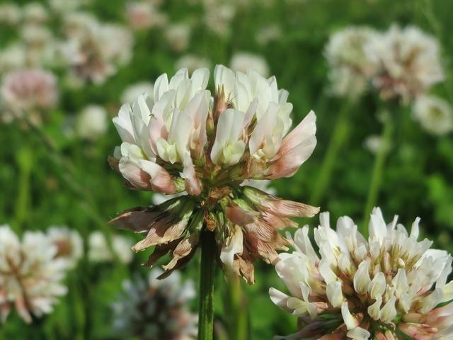 Trifolium repens white clover dutch clover, nature landscapes.