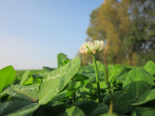 Trifolium repens white clover dutch glover, nature landscapes.