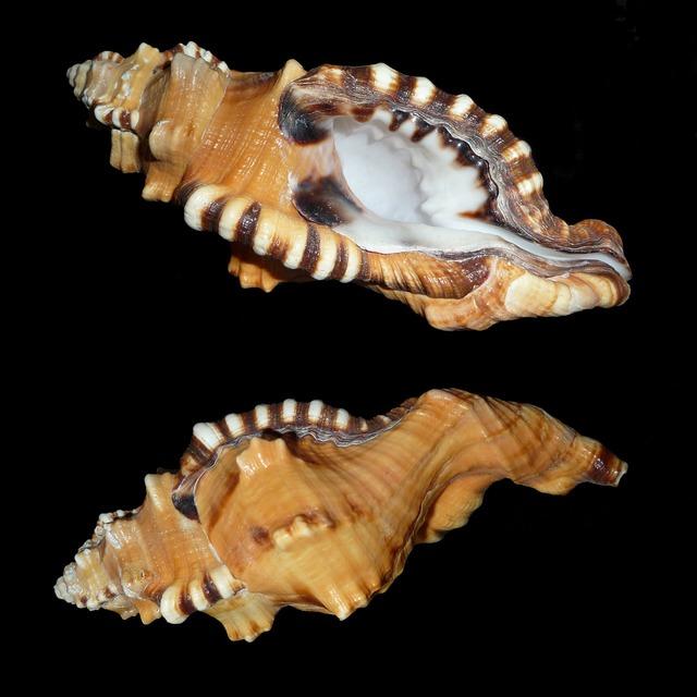 Triton slugs snail littorinimorpha.