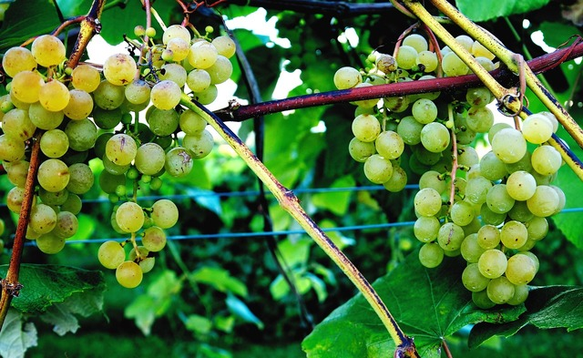 Tug hill vineyards grape vine wine.