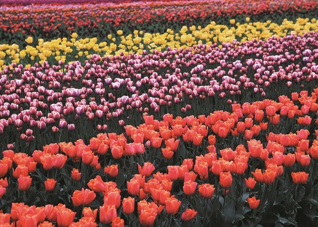 Tulip field flowers.
