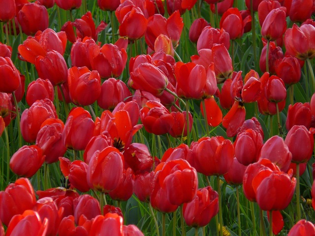 Tulip field tulips red, nature landscapes.