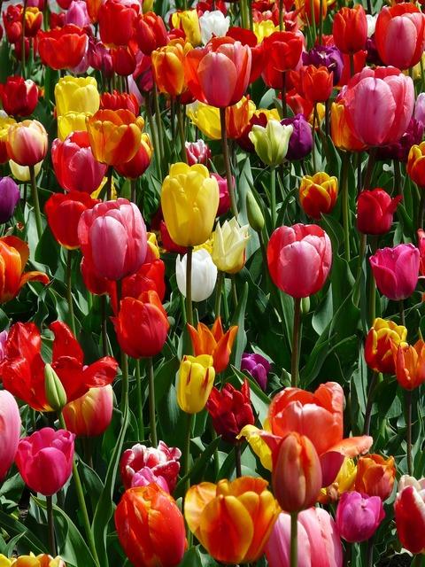 Tulip field tulips tulpenbluete, nature landscapes.
