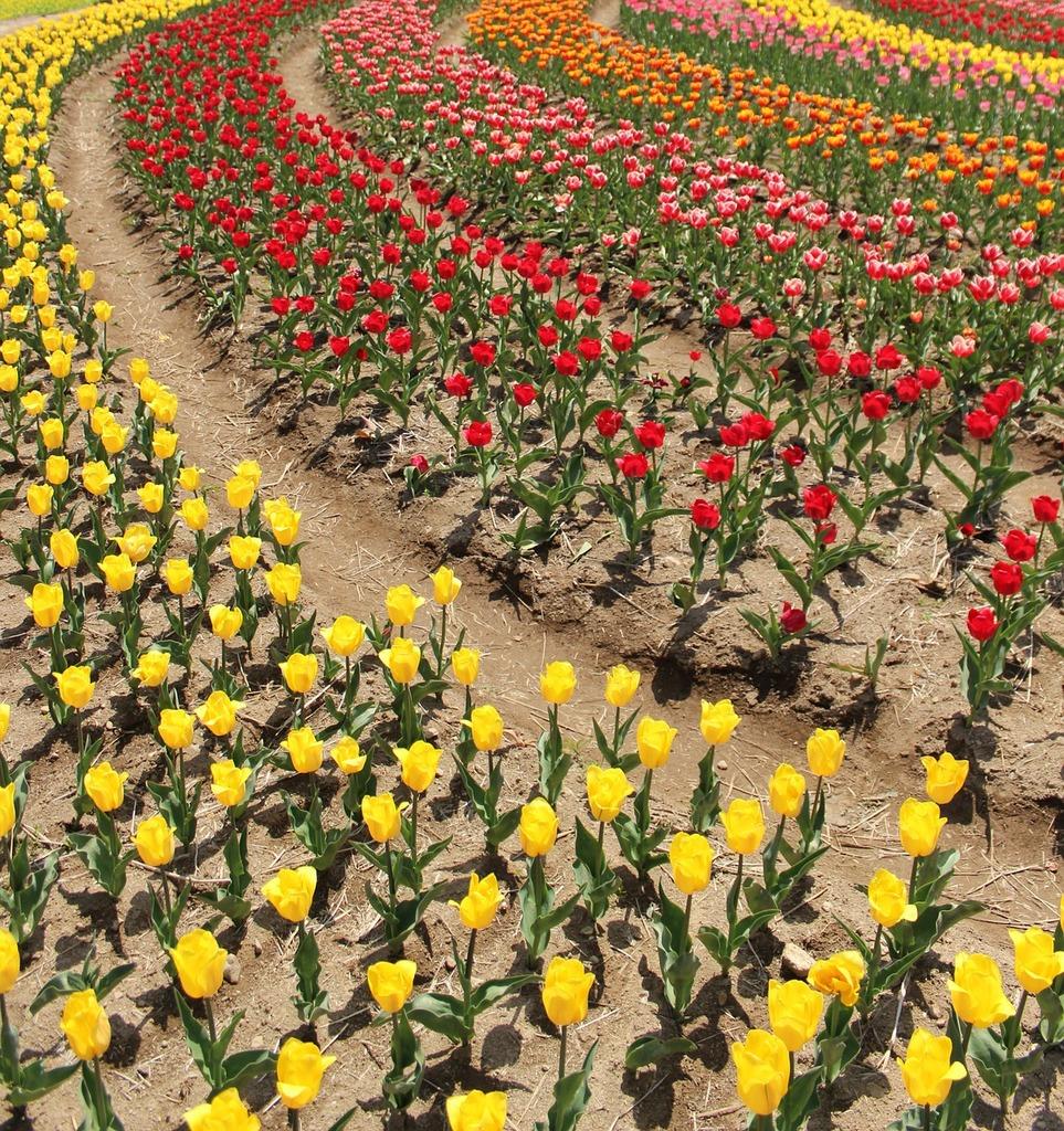 Tulip flower gardens flowers. | PICRYL