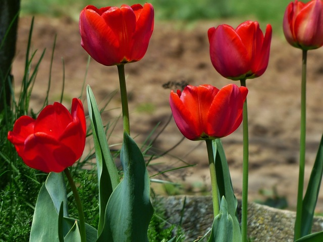 Tulip flowers red, nature landscapes.