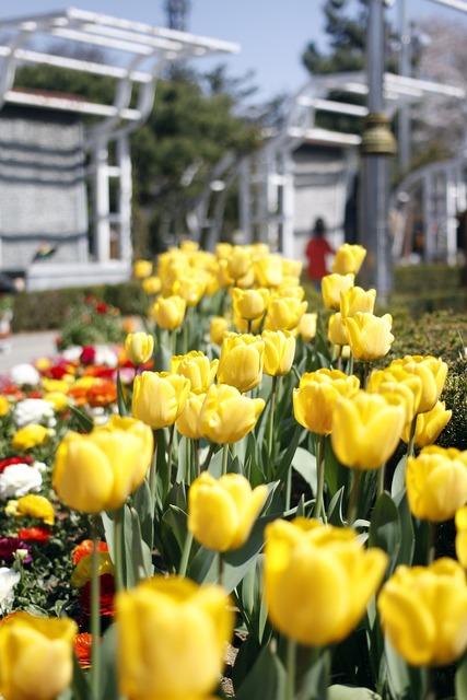 Tulip flowers spring, emotions.