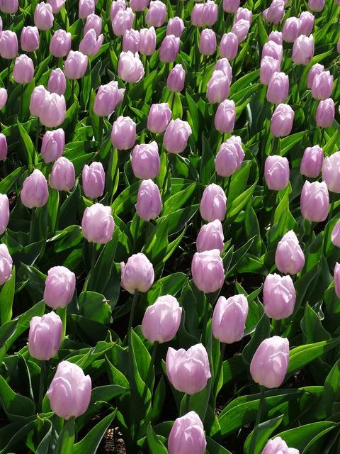 Tulip keukenhof nature, nature landscapes.