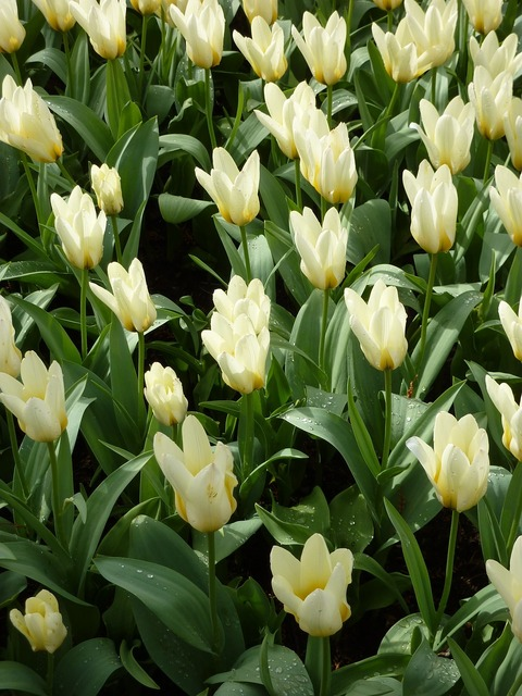 Tulip keukenhof spring, nature landscapes.