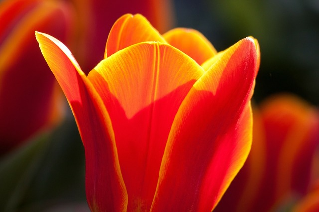Tulip lily nature, nature landscapes.