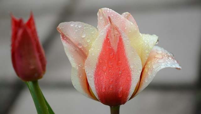 Tulip lily spring, nature landscapes.