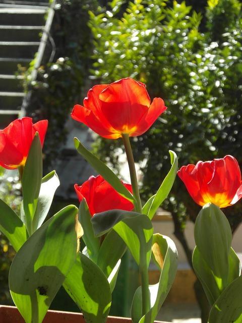 Tulip red flower, nature landscapes.