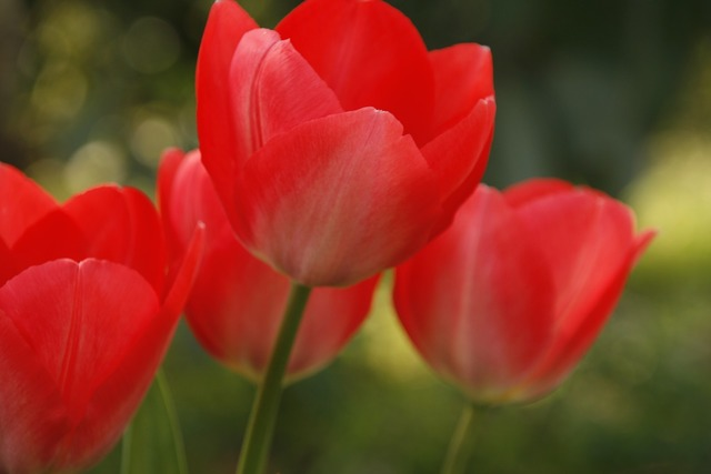 Tulip red open, nature landscapes.