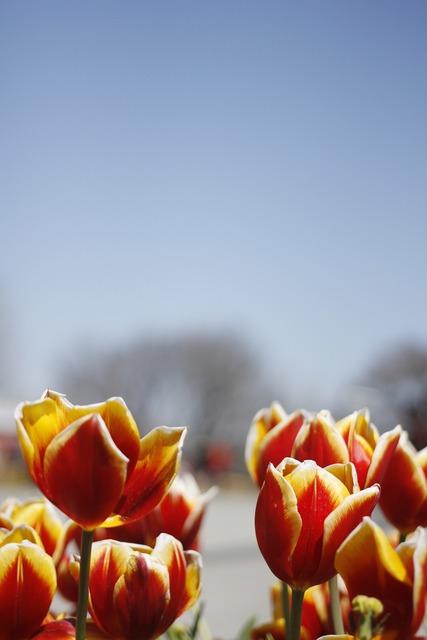 Tulip spring flowers, nature landscapes.