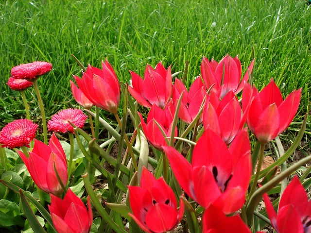 Tulip spring flowers, nature landscapes.