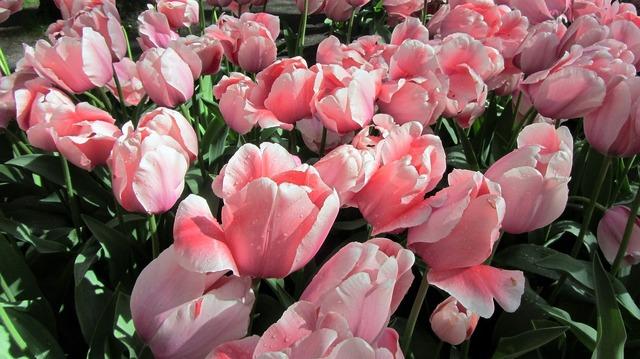 Tulip tulips bulbs.