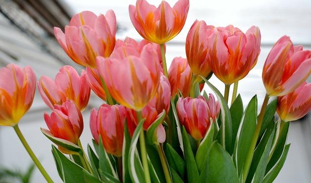 Tulip tulips flower, nature landscapes.