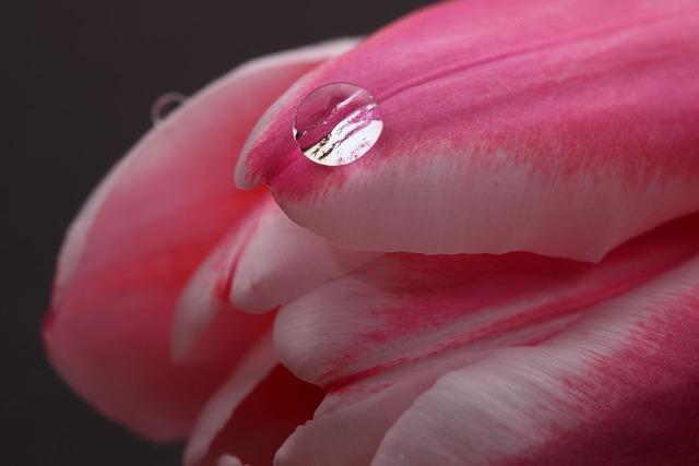 Tulip water drop, nature landscapes.